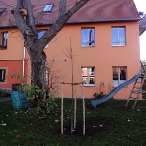 neue Sommerlinde vor altem Walnussbaum